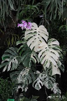 monstera deliciosa albo variegata wow might need to