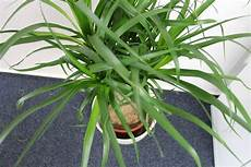 Yucca Palme Umtopfen In 6 Schritten So Gelingt Das Umpflanzen