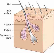 Diagram Of Sebaceou Cyst In by What Integumentary Gland Secretes Sebum Socratic