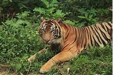 Harimau Sumatera Nature Priroda 1
