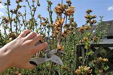 hibiskus schneiden tipps tricks f 252 r den perfekten