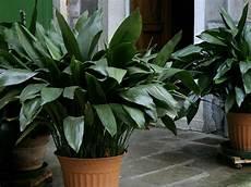 Zimmerpflanzen Die Wenig Licht Brauchen Schusterpalme