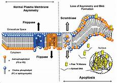 changes in cell membrane configuration with apoptosis diagram shows download scientific