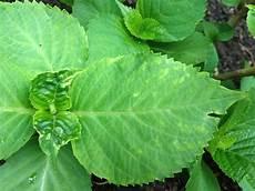 Hortensien Krankheiten Blätter - verschrumpelte bl 228 tter an hortensien und anderen was