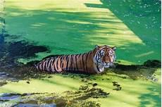 tiger im pool chillen tiger im zoo park premium foto