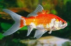 Ini Dia Jenis Jenis Ikan Hias Yang Bisa Dipelihara Di