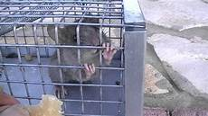 la gabbia it topo in gabbia ma libero di andare e venire