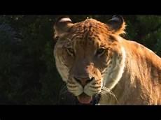 Leopard Tiger Hybrid Buscar Con Leopon