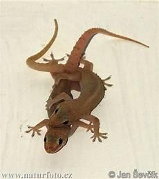 geco in casa tengo geckos en mi casa y te lo muestro taringa