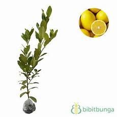 Tanaman Jeruk Lemon Impor Bibitbunga