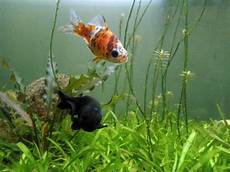 goldfisch haltung im teich file shubunkin goldfish and black fish at meenalokam jpg