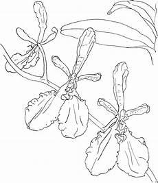 einfache orchideen ausmalbild malvorlage blumen