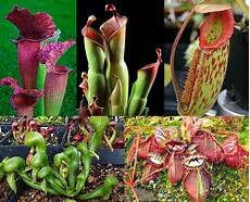 new to carnivorous plants start here tom s carnivores