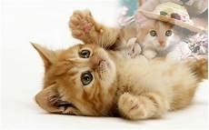 Wallpaper Gambar Kucing Expresi Lucu Marah Sedih