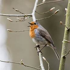 Vogel Malvorlagen Instagram Pin Dezemberkind Auf X Robin Rotkehlchen