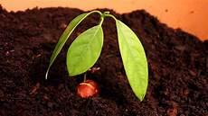 Avocado Pflanze Schneiden - avocado pflanzen avocado pflanze avocado und avocado
