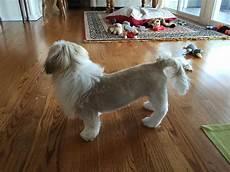 shih tzu lion haircut shihtzu with a puppy lion cut shih tzu s lion dog