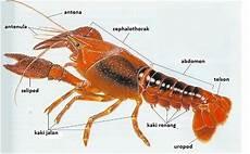 Selamat Datang Morfologi Udang Galah Macrobrachium