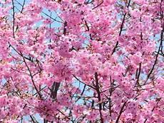 Cerisier Du Japon Plantation Taille Et Entretien