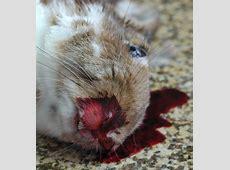Rabbit Hemorrhagic Disease Virus,Rabbit Hemorrhagic Disease Virus 2 Confirmed in Wild,Viral hemorrhagic diseases 2020-05-22