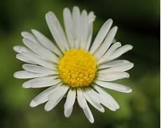 fiore con la a fiori margherita fiori di piante