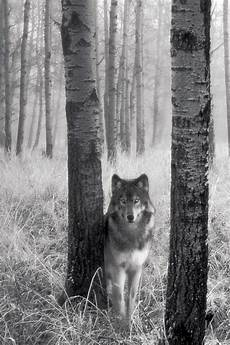 black and white wolf wallpaper iphone wolf wallpaper for iphone wallpapersafari