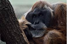 Orang Utan Foto Bild Tiere Zoo Wildpark Falknerei