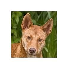 dingo steckbrief tierlexikon