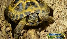 russian tortoise care sheet reptiles by mack