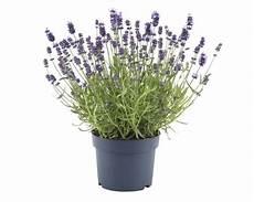 lavendel im topf kaufen lavendel floraself lavandula angustifolia felice h 20 30