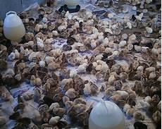 Dinara Agro Farm Panduan Menternak Ayam Kung