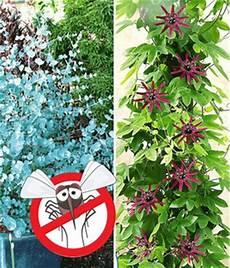 kletterpflanzen rankpflanzen online bestellen bei baldur
