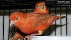 6 Cara Membedakan Burung Kenari Jantan Dan Betina Hewanpedia