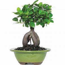 brussel s ginseng grafted ficus bonsai small indoor