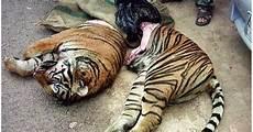 Gambar Harimau Yang Comel Di Bunuh Dengan Kejam Untuk
