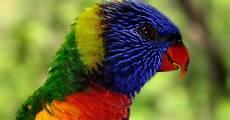 Informasi Tentang Burung Nuri Si Penghias Rumah Dan Taman