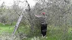 schneiden frühling olivenb 228 ume schneiden taglio olivo fr 252 hling toscana ulivo