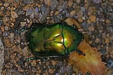 insekt an fauligem obst protaetia aeruginosa gro 223 er rosenk 228 fer blatthornk 228 fer