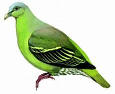 Informasi Tentang Burung Punai Flores Burung Gue