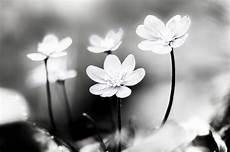 fiori in bianco e nero ste artistiche quadri e poster con bianco e nero