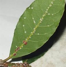 orchideen läuse klebrig schildl 228 use bek 228 mpfen pflanzenfreunde