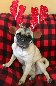 by pugs n pets merry christmas dog christmas dog pug obsessed
