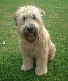 soft coated wheaten terrier haircut photos soft coated wheaten terrier haircut photos soft coated wheaten terrier haircut photos diesel