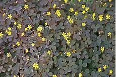 Sauerklee Im Garten Erfolgreich Bek 228 Mpfen Skalka