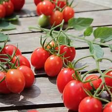 Tomate Informationen Zu Kultivierung Verarbeitung Und Mehr