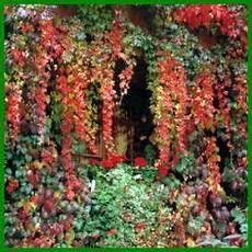 Wilder Wein Ist Eine Schnell Wachsende Kletterpflanze