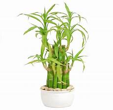 bambou d intérieur lucky bamboo advice on caring for it