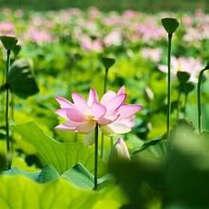 fiore loto panoramio photo of fiore di loto