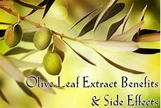 Extract Benefits by Olive Leaf Extract Benefits And Side Effects Olives