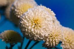 Chrysanthemum HD Wallpapers